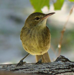 The Seychelles warbler